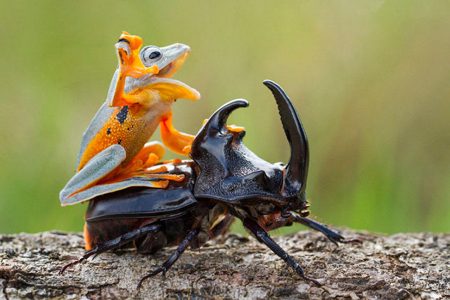 frog-riding-beetle