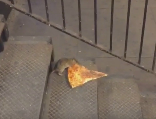 rat-vs-pizza